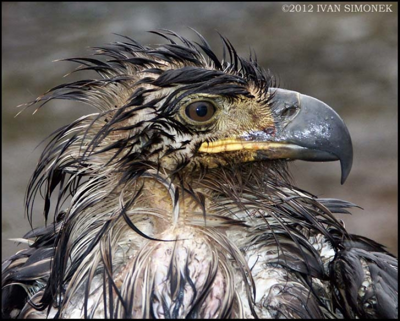 Wettest Eagle Ever