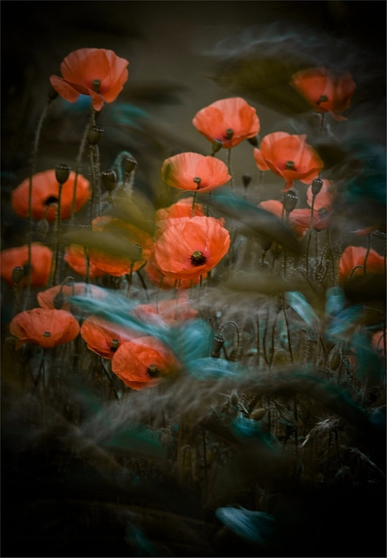When The Poppies Bloom