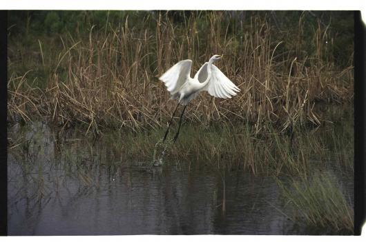 White Egret – Take Off!
