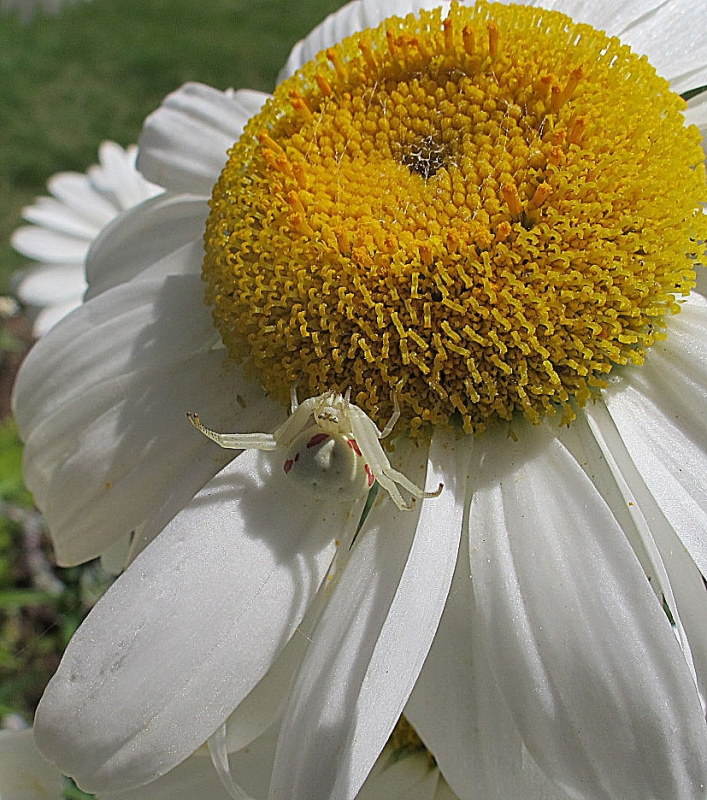 White Spider On Daisy