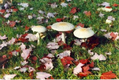 Wild Mushrooms- In The Fall
