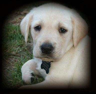 Yellow Lab Pup