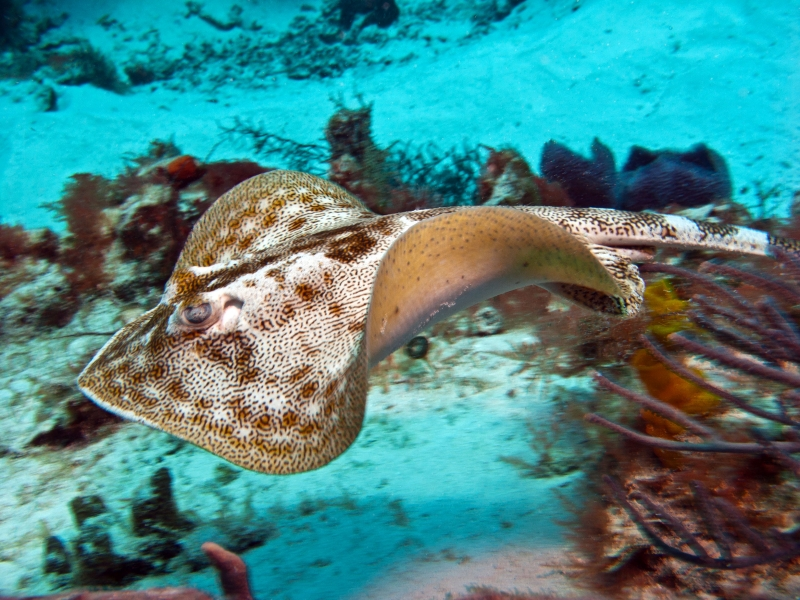 Yellow Stingray On The Move