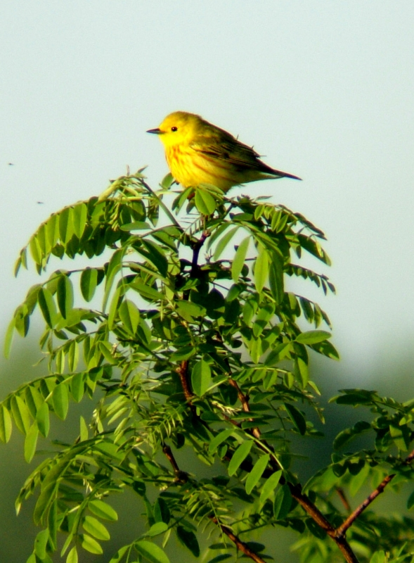 Yellow Warbler In A Locust Tree