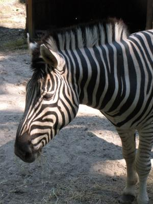 Zigzag The Zebra