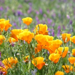 California Poppies And Vetch