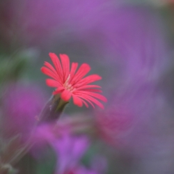 Indian Pink Wildflower