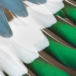 Duck Feathers In A Row
