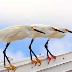 Three Egrets