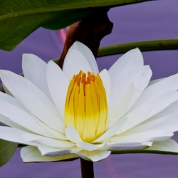 Morning Water Lilly