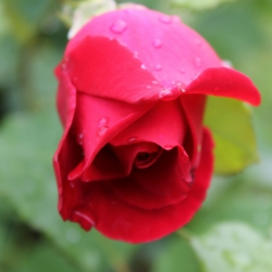 Droplets On A Red Rose