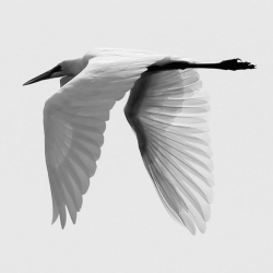 Great Egret In B/w