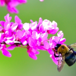 Bee On Our Redbud