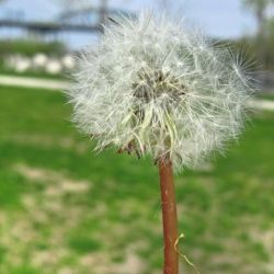 The Image Of Your Childhood- Dandelions