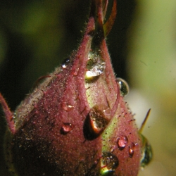 Drops On A Bud