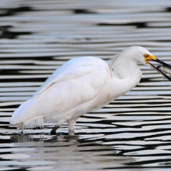 Little Egret Breakfast