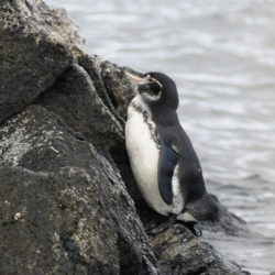 Playing Shy, Galapagos Penquin