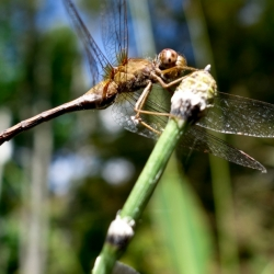 Dragon Fly On Horse Tail