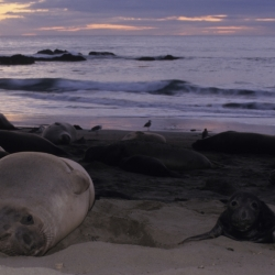 Cow And Calf Northern Elephant Seals And Sunset