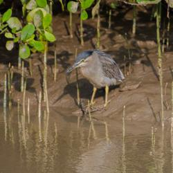 004-black caped night heron
