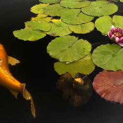 Orange Koi and Lily Flower
