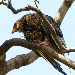 Mara Bateleur Eagle Female for DP