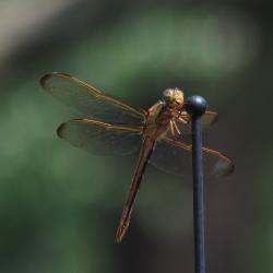 Dragon Fly Landing