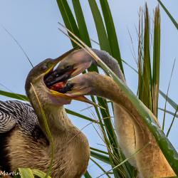 Hungry Anhinga Chicks