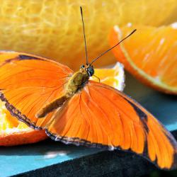 Butterfly with Oranges