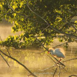 Cattle Egret at Dawn