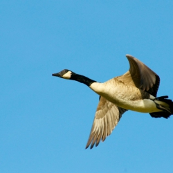 Nice View, Canada Goose In Flight