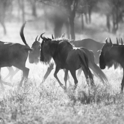 Running Wildebeests