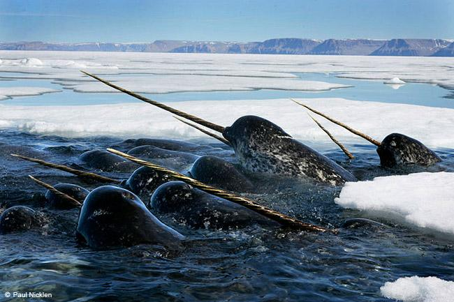 Paul Nicklen's Narwhals