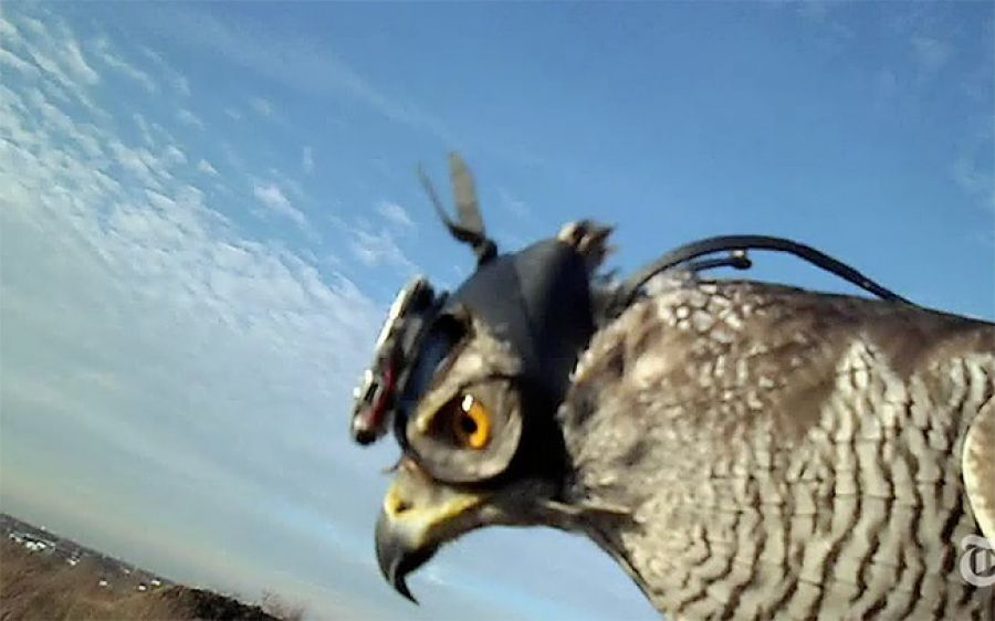 A Hawk With A Helmet Cam