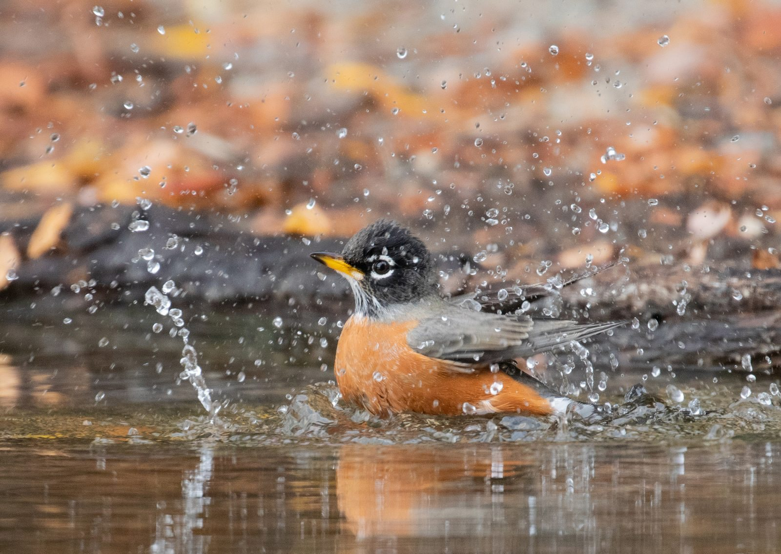 """Autumn Splash"" by Janet Bauer"